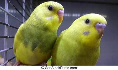 two yellow wavy parrots look at you.
