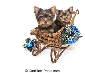 Two Yorkie Christmas Puppies.