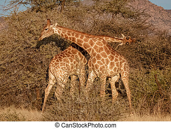 Two young adult male giraffes fight