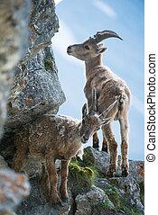 Two young alpine ibex (lat. Capra ibex