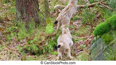 Two young and playfull lynx cat cubs running in the forest -...