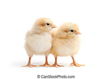 two young chicks - chickens isolated on white - buff corington