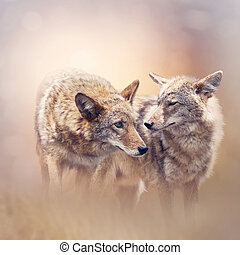 Young coyotes at sunset