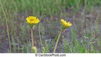 Two young dandelion flowers in the grass b-roll shot