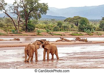 Two young elephant bulls play fighting at Samburu National Reserve, Kenya