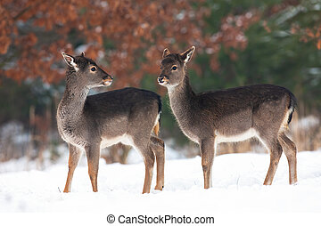 Two young fallow deer fawns standing on meadow in winter.