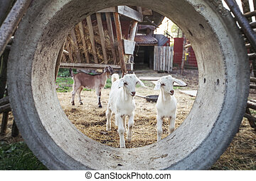 Two young goat kids playing in concrete tube on a farm.