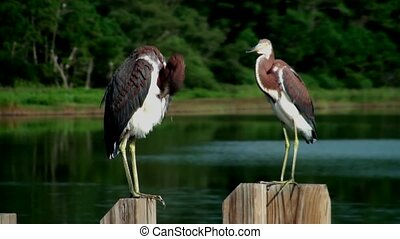 Two young Herons preening and pooping