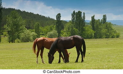 Two young horses grazing in summer meadow