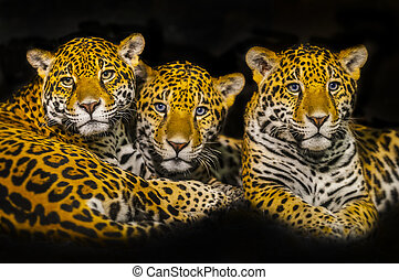 Two young Jaguars and their mother