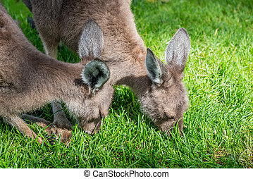 two young kangaroo in Australia