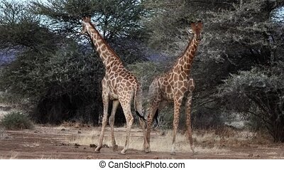 Two young male giraffes are seen fighting for the affections...