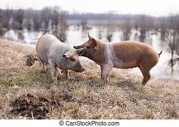 Two young mangulitsa pigs having fun