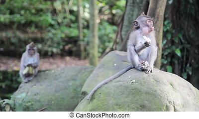 Two young monkeys - Wild monkeys in Indonesia, Bali