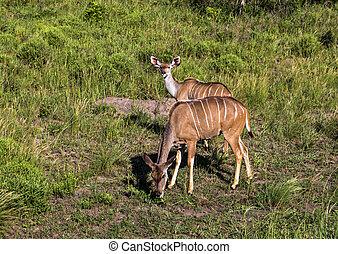 Two Young Nyala Buck Grazing on Grassland - Two young Nyala...