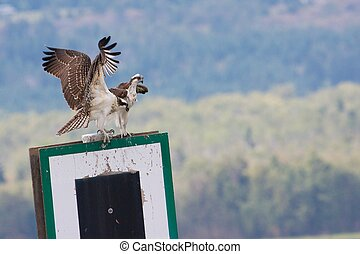Two young ospreys on a signpost