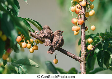 Two young sparrows are sitting on a cherry tree branch in the garden