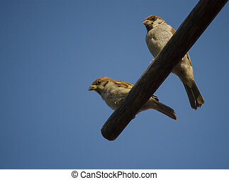 Two young sparrows sit on a wooden pole