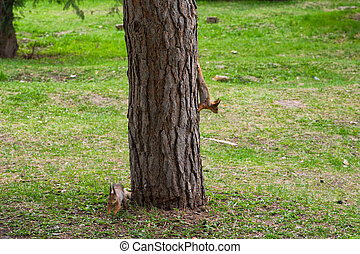 Two young squirrels are playing on a tree in a city park. Ordinary Squirrel (lat. Sciurus vulgaris) is the genus of rodents of the squirrel family. Two red squirrels jumping on the trees in a dense young forest.