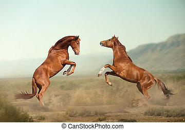 two young stallions fighting in desert