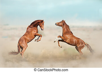 two young stallions fighting