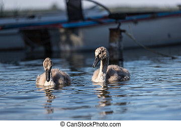two young swans on a lake