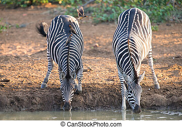 Two zebra down on their knees drinking water at sunset in a small pool with oxpeckers