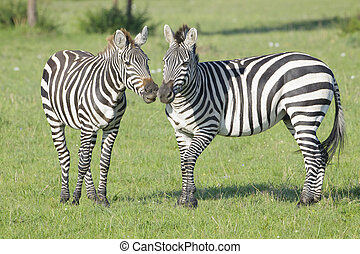 Two Zebra (Equus quagga) stallions fighting on savanna, Serengeti National Park, Tanzania