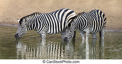 Two zebra standing in water to drink at small pool