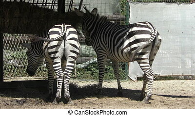 Two zebras eat grass at the zoo, 4K video