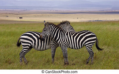 Two zebras in the field