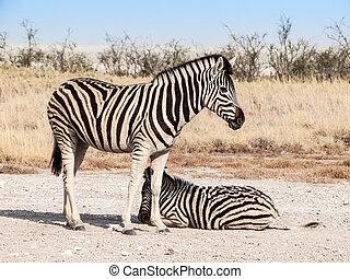 Two zebras in the savanna, Etosha National Park, Namibia, Africa.