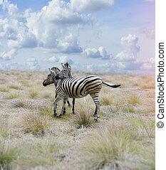 Zebras In The Savannah