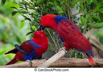 twoparrots, polibek, -, dělat velmi rád ptáci