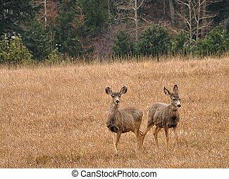 Twp Deer in Colorado