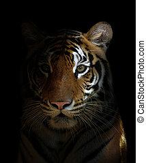 tygrys formują główki, bengalski