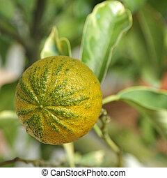 type of Bitter orange (Citrus aurantium turcicum salicifolia...
