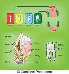 typer, og, struktur, i, tænder, vektor