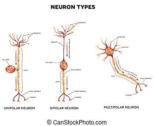 types, neurone