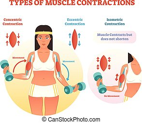 Types of muscle contractions with arm cross section and weight lifting movement.