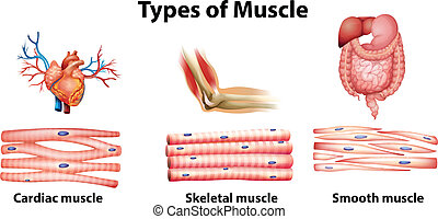 Illustration of the type of muscle on a white background