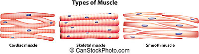 Illustration of the types of muscles on a white background