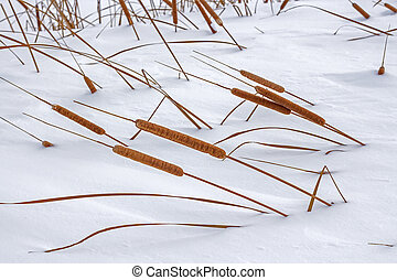 Typha angustifolia is a perennial aquatic and marsh herbaceous plant
