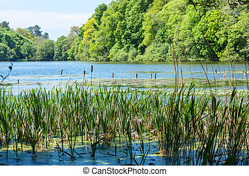 Typha latifolia, bulrush in the lake on a sunny day