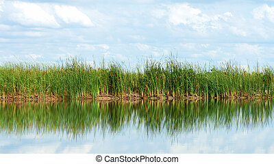 Typha latifolia, Common Bulrush, Broadleaf Cattail, blackamoor, flag, mace reed, water-torch