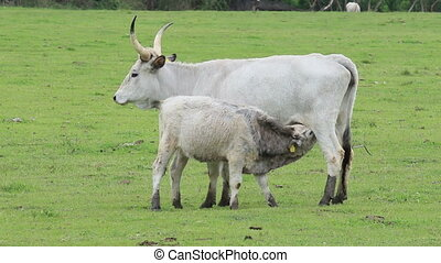 Typical ancient breed hungarian grey cow family