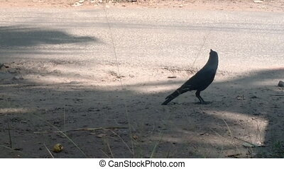 Typical birds of India in typical biotope 15. Indian crow on side of road