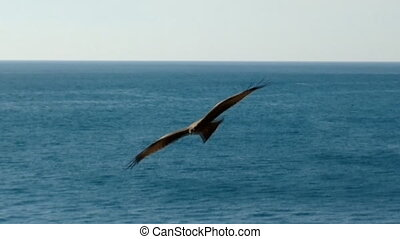 Black kites playing over sparkling surface of sea - Typical...