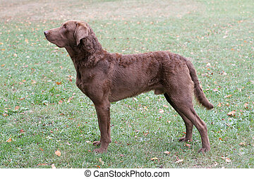 Typical Chesapeake Bay Retriever on a green grass lawn -...