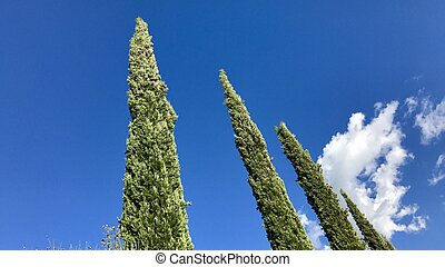 Typical cypress trees in Tuscany, Italy, against great blue ...
